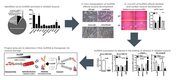 A novel molecular regulator of striated muscle function