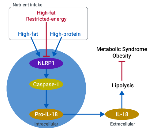IL-18 production from the NLRP1 inflammasome